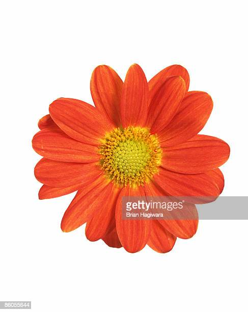 orange daisy - blumen stock-fotos und bilder