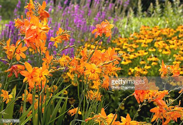 Orange day lilies and other flowers in the garden