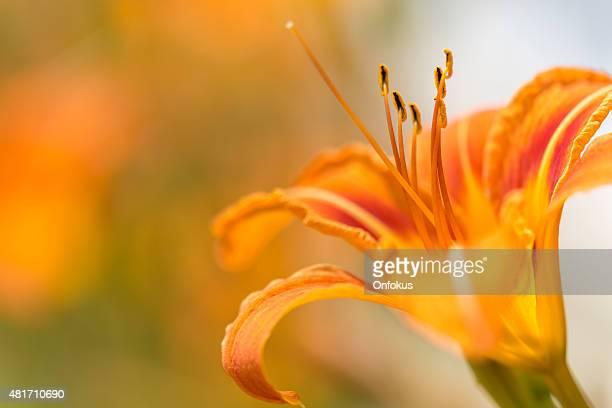 Orange Daylily gros plan