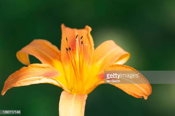 orange daylily - ian gwinn stock pictures, royalty-free photos & images
