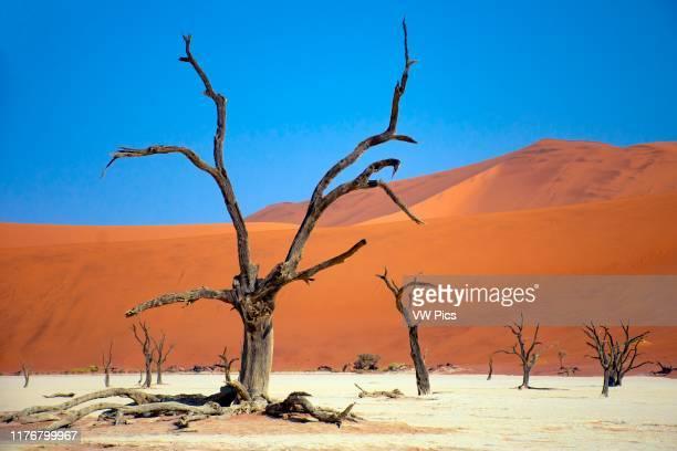 Orange dunes and dead trees at Deadvlei Sossusvlei area NamibNaukluft National Park Sesriem Namibia