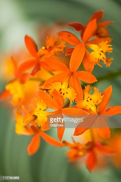orange epidendrum orchid on green background - ogphoto stock photos and pictures