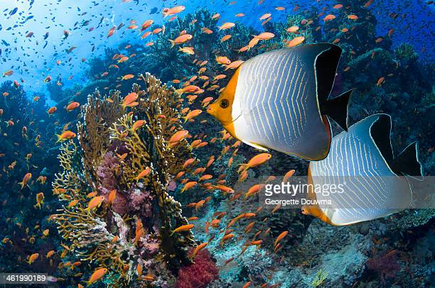 Orange face butterflyfish over coral reef