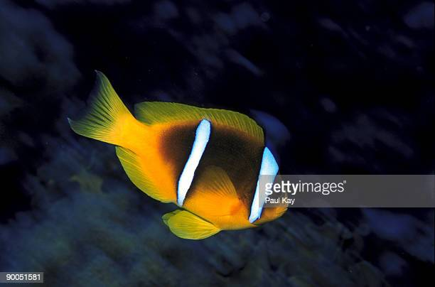 orange fin anemonefish - orange fin clownfish stock photos and pictures