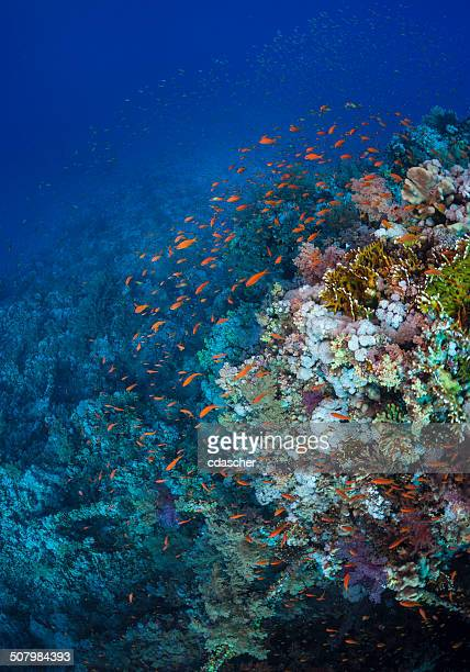 orange fish on coral reef - cdascher stock pictures, royalty-free photos & images