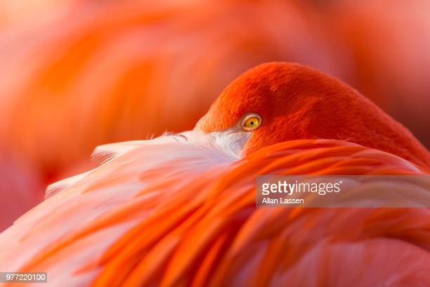 Orange Flamingo (Phoenicopterus)