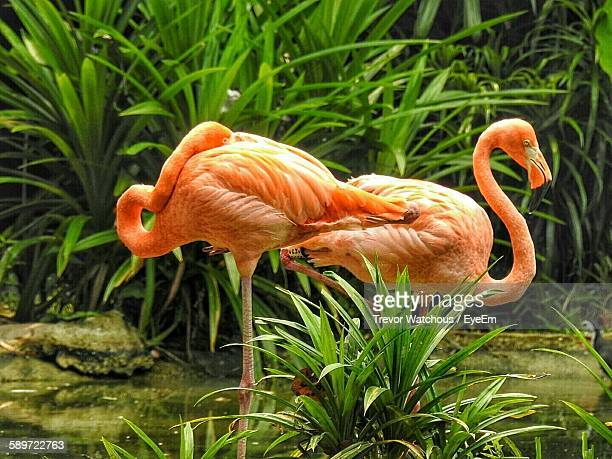 Orange Flamingos Against Grass