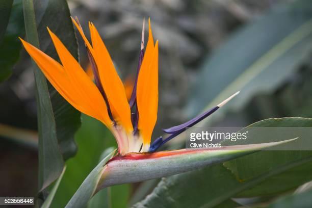 Orange flower of Strelitzia Reginae 'Humilis'' - Bird of Paradise, exotic