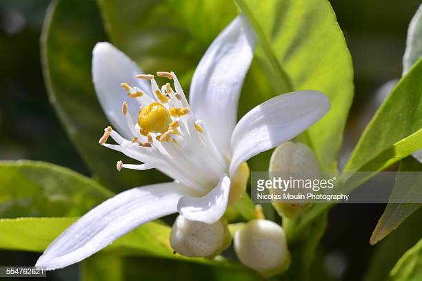 orange flower - orange blossom stock photos and pictures