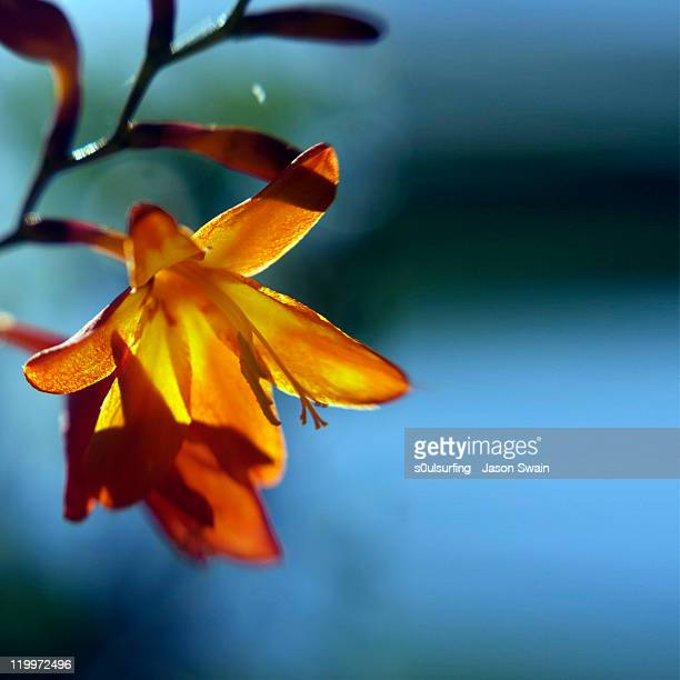 orange flowers - s0ulsurfing imagens e fotografias de stock