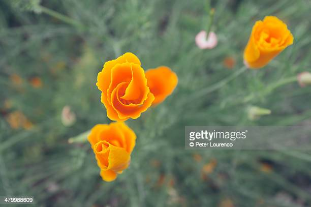 orange flowers. - peter lourenco stock pictures, royalty-free photos & images