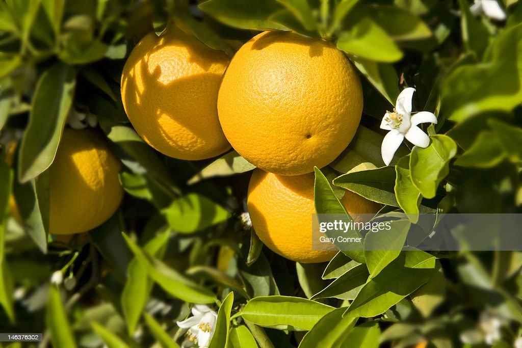 orange fruit and blooms : Stock Photo