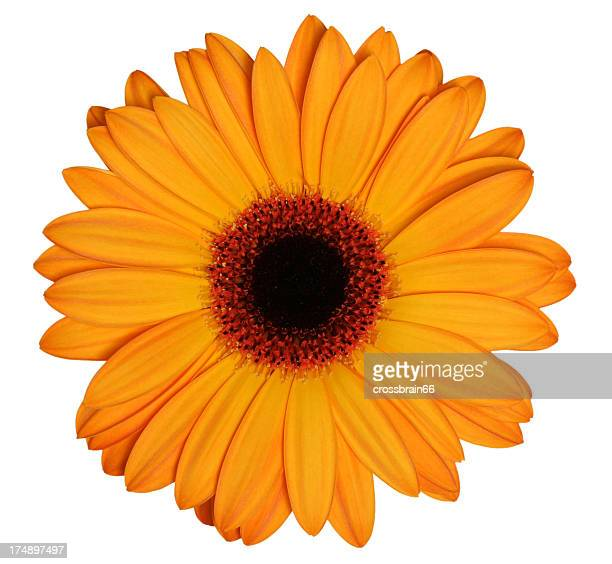 Orange Gerber daisy on a white background