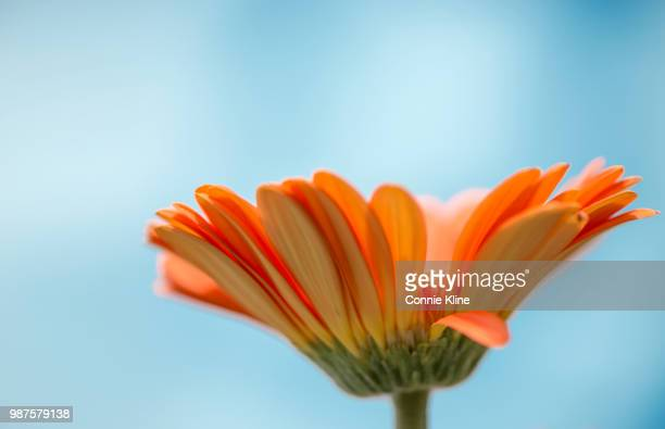 orange gerbera - gerbera daisy stock pictures, royalty-free photos & images