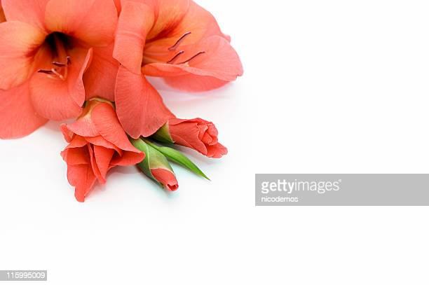 orange gladiolus - gladiolus stock pictures, royalty-free photos & images