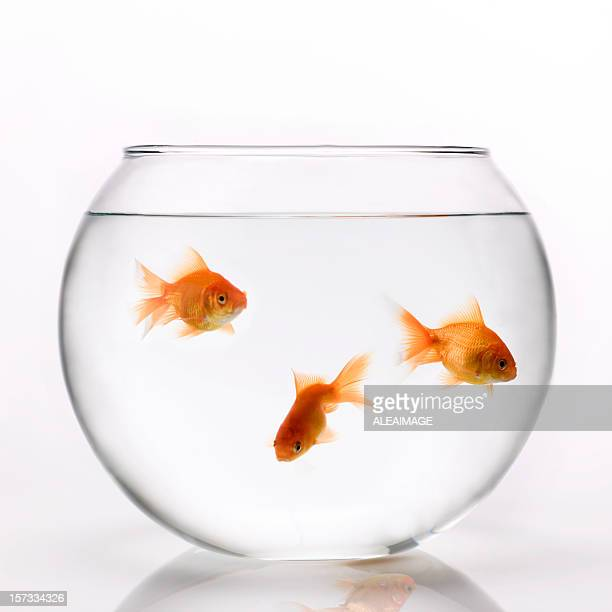 3 orange goldfish swimming in a glass bowl