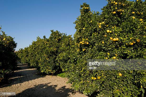 orange grove, california - orange orchard stock photos and pictures