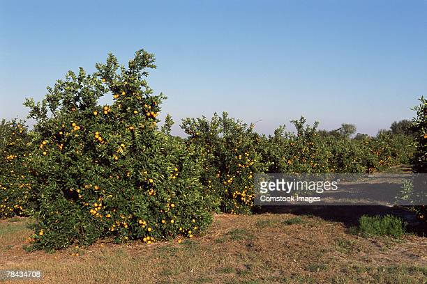 orange grove , florida - orange orchard stock photos and pictures