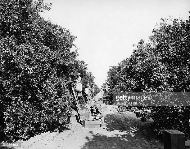 orange grove fruit picker picking oranges date and place unknown around 1930 photo by Dorien Leigh