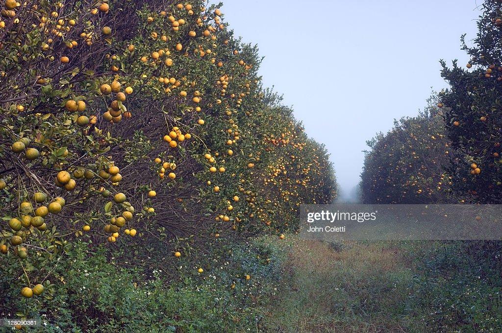 Orange grove, Immokalee, Florida : Stock Photo