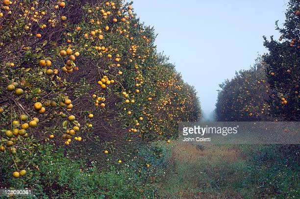 orange grove, immokalee, florida - orange orchard stock photos and pictures