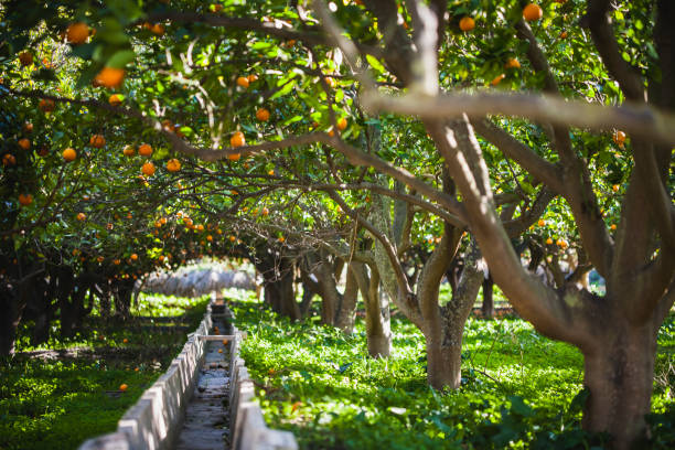 orange grove in terqu, arch of trees over irrigation ditch.. - 果樹園 ストックフォトと画像