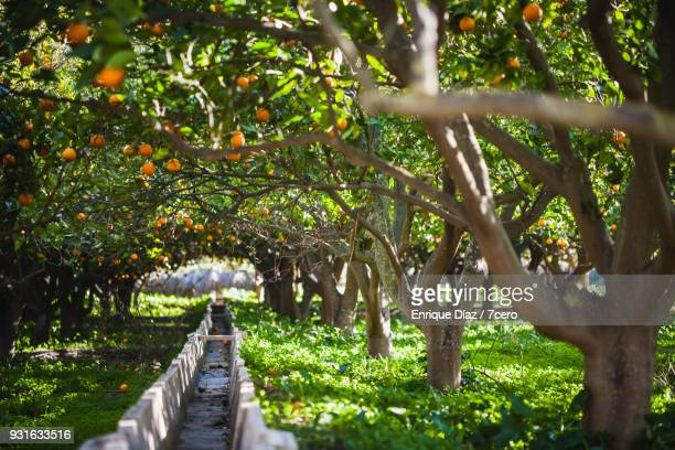 orange grove in terqué, arch of trees over irrigation ditch.. - orchard stockfoto's en -beelden