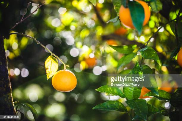 orange grove in terque, single orange in the sun. - grove_(nature) stock pictures, royalty-free photos & images