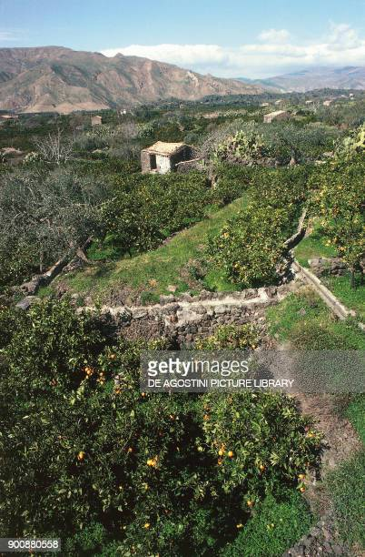 Orange grove in the eastern slope of Mount Etna Sicily Italy