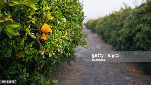 orange grove near bakersfield, california, america, usa - orange orchard stock photos and pictures