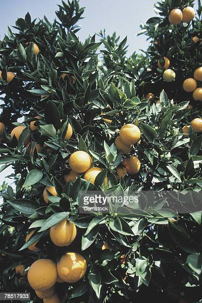 orange grove near san diego , california - orange grove stock photos and pictures