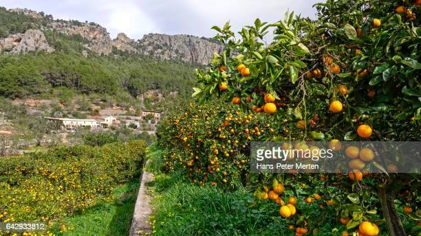orange grove near soller, majorca, balearic islands, spain - orange grove stock photos and pictures