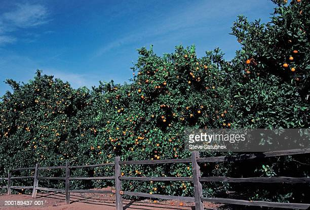 orange grove next to fence - orange grove stock photos and pictures