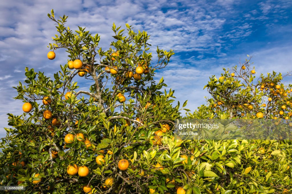 Orange grove : Stock Photo