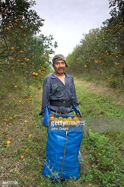 orange grove - orange orchard stock pictures, royalty-free photos & images