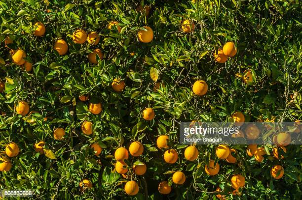 orange grove - orange grove stock photos and pictures