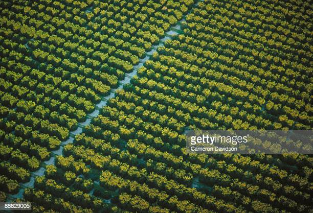 orange grove - orange orchard stock photos and pictures