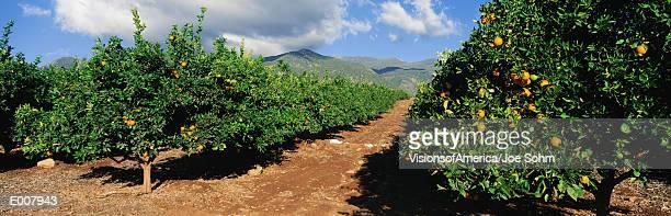 orange grove - orange grove stock photos and pictures