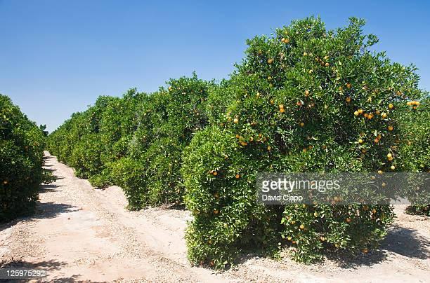 Orange groves Fresno County, Central California, Sierra Nevada, California, United States of America