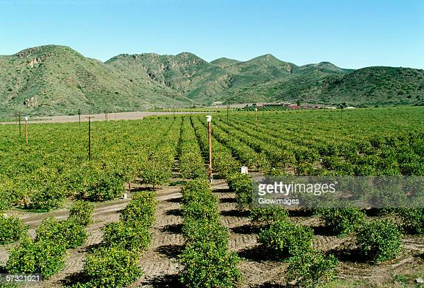 orange groves in southern california - orange orchard stock photos and pictures