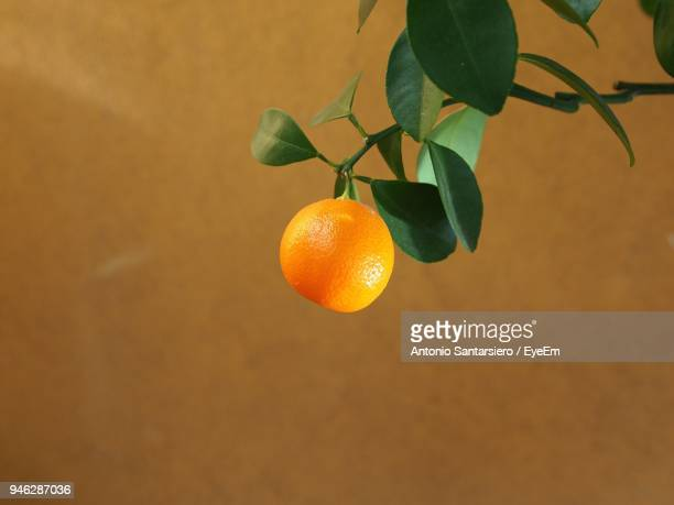 Orange Growing On Branch