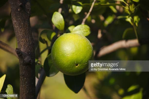 Orange Hanging In Tree