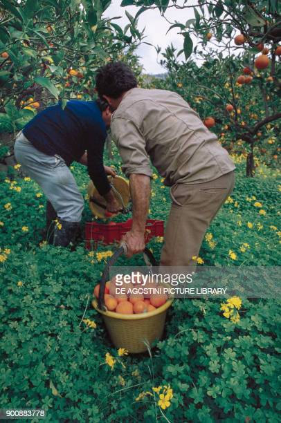 Orange harvesting in the east area of Mount Etna Sicily Italy
