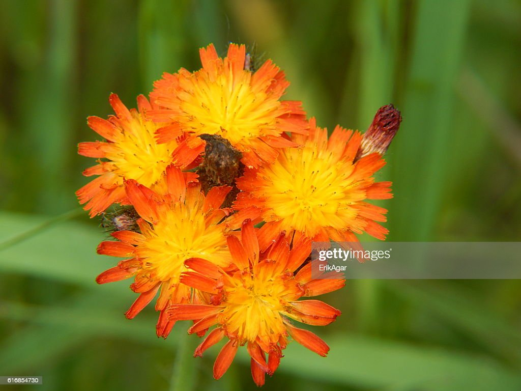 Orange Hawkweed Flowers in Bloom : Stock Photo