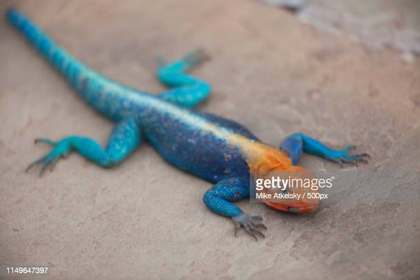 orange headed agama lizard on a rock - eastern african tribal culture stock photos and pictures