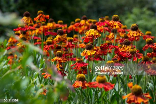 orange helenium flowers in a summer garden - july stock photos and pictures