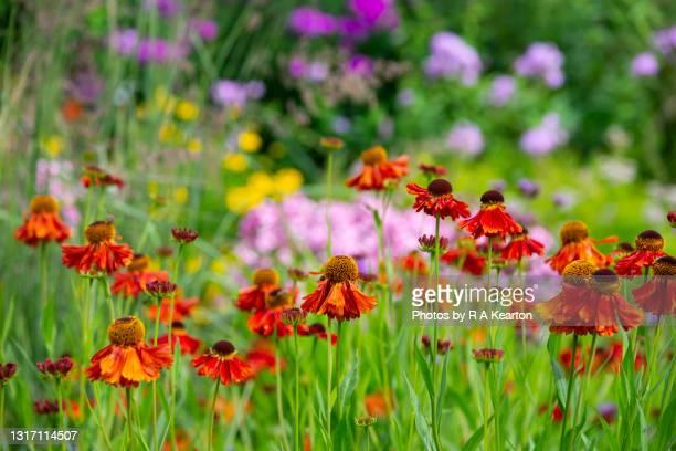 orange helenium in a summer garden - garden stock pictures, royalty-free photos & images