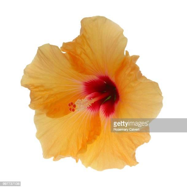 Orange hibiscus flower on white square.