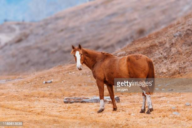 orange horse pasturing on top of the mountain at the autumn,  altai republic, siberia - one animal stock pictures, royalty-free photos & images