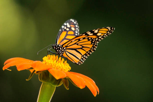 Monarch Butterflies Life Cycle